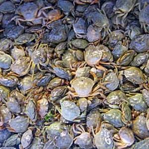 moeche o moleche anche chiamate granchio verde
